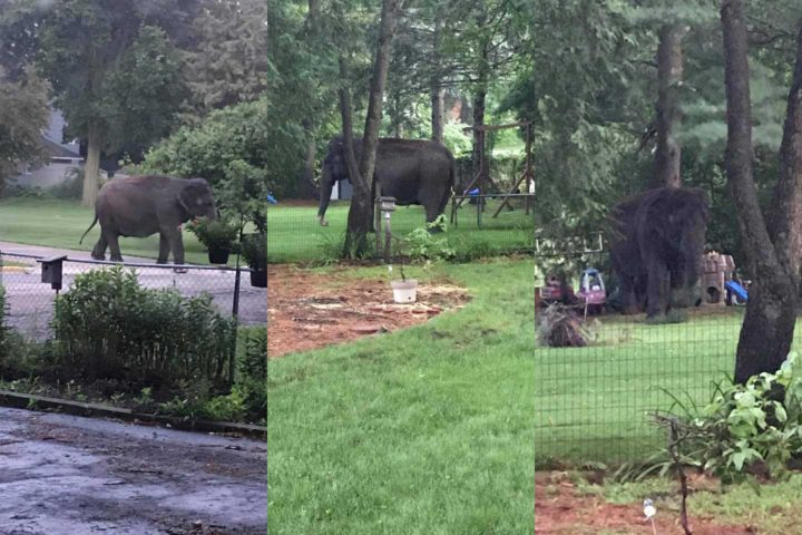 An elephant performed a daring escape today in Baraboo