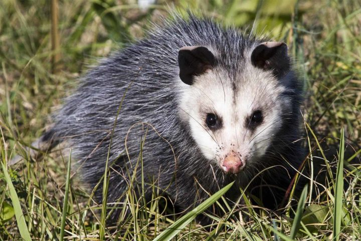Madison police embark on harrowing opossum rescue mission